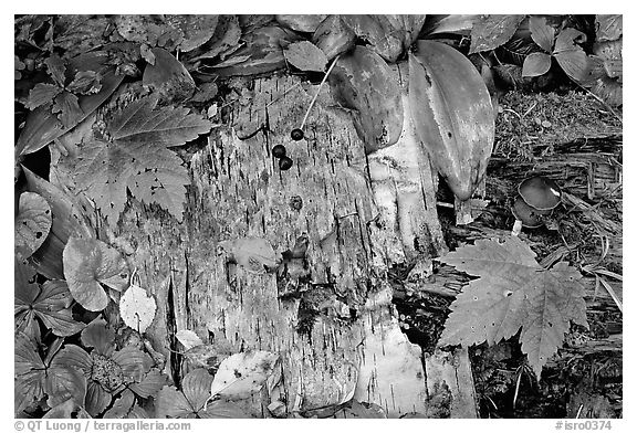 Maple leaves and weathered wood. Isle Royale National Park (black and white)
