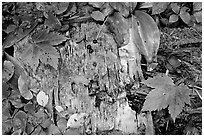 Maple leaves and weathered wood. Isle Royale National Park, Michigan, USA. (black and white)