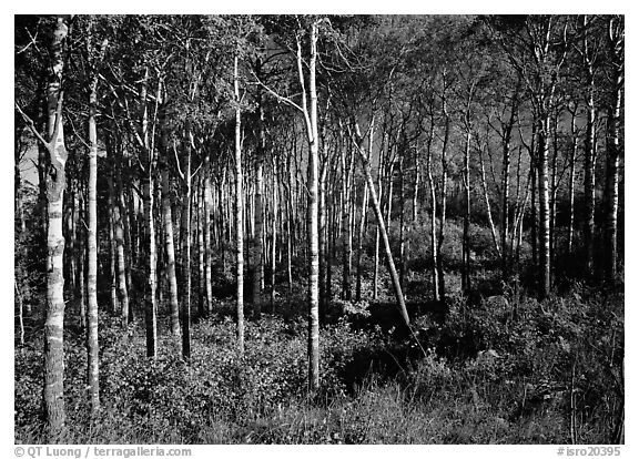 Sunny birch forest. Isle Royale National Park (black and white)