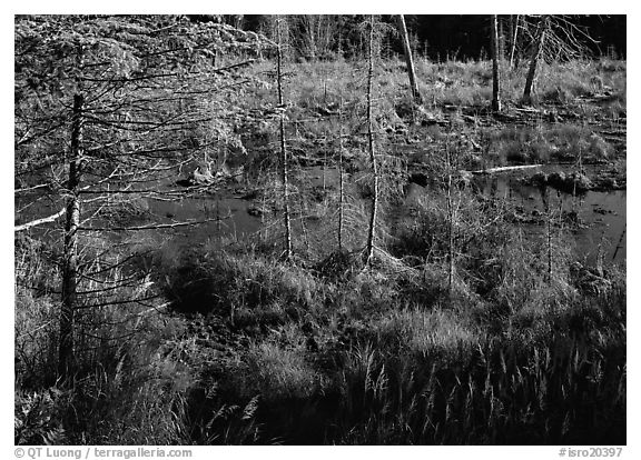Beaver pond. Isle Royale National Park (black and white)
