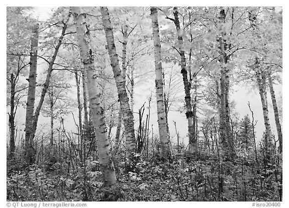 black and white picture photo birch trees birch trees in autum with branches blurred by wind