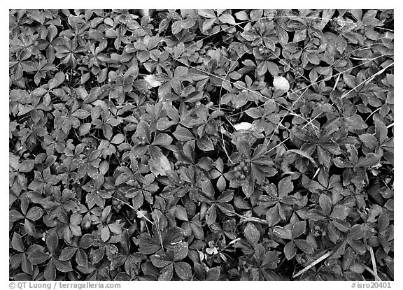 Berry leaves on forest floor in autumn. Isle Royale National Park (black and white)