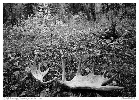 Fallen moose antlers in autumn forest. Isle Royale National Park (black and white)