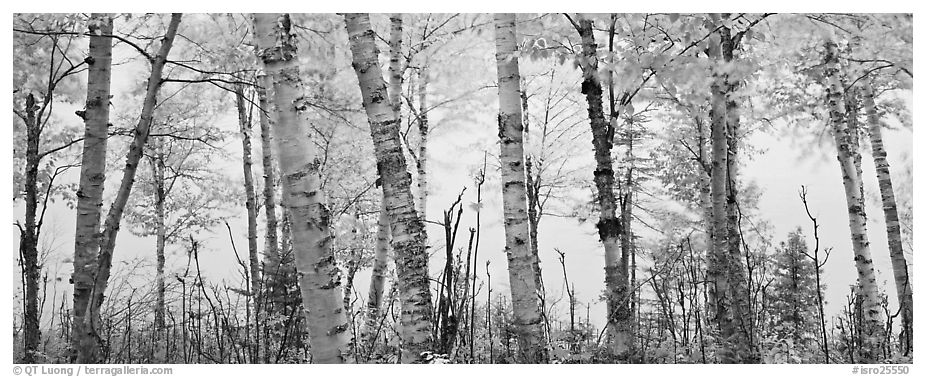 Birch trees with yellow autumn leaves. Isle Royale National Park (black and white)