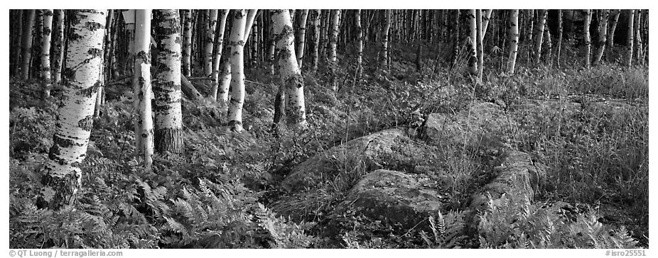 Ferns and north woods forest in autumn. Isle Royale National Park (black and white)