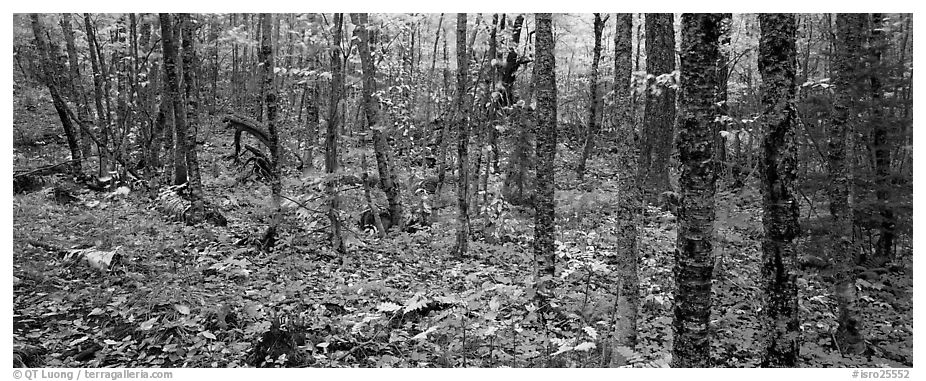 Deciduous forest in autumn. Isle Royale National Park (black and white)