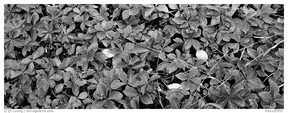Close-up of berry leaves in autumn colors. Isle Royale National Park (black and white)