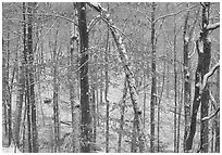 Trees in winter with snow and old leaves. Mammoth Cave National Park, Kentucky, USA. (black and white)