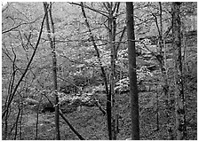 Trees and limestome cliffs in autumn. Mammoth Cave National Park ( black and white)