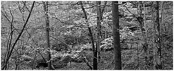 Forest in autumn and cliffs. Mammoth Cave National Park (Panoramic black and white)