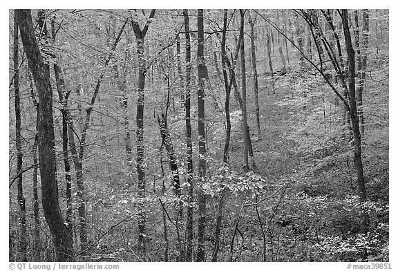 Forest in fall color. Mammoth Cave National Park (black and white)