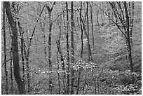 Forest in fall color. Mammoth Cave National Park, Kentucky, USA. (black and white)