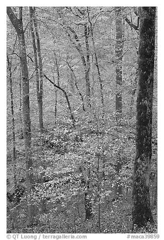 Forest with fall foliage. Mammoth Cave National Park (black and white)