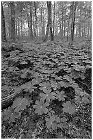 May apple Plants with giant leaves on forest floor. Mammoth Cave National Park, Kentucky, USA. (black and white)