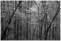 Blooming Dogwood trees in forest. Mammoth Cave National Park, Kentucky, USA. (black and white)