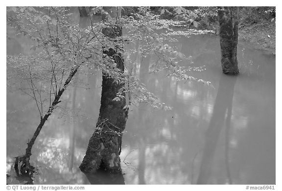 Flooded trees in Echo River Spring. Mammoth Cave National Park (black and white)