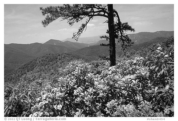 Rododendrons and tree from overlook on Skyline Drive. Shenandoah National Park (black and white)