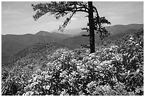 Rododendrons and tree from overlook on Skyline Drive. Shenandoah National Park, Virginia, USA. (black and white)