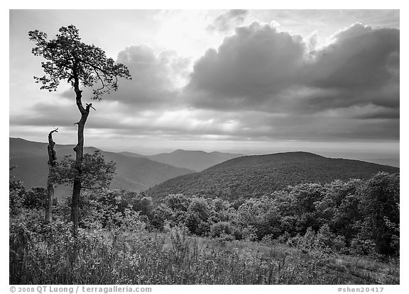 Tree and overlook in the spring. Shenandoah National Park (black and white)