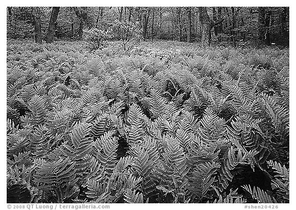 Ferns and flowers in spring. Shenandoah National Park (black and white)