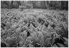 Ferns and flowers in spring. Shenandoah National Park ( black and white)
