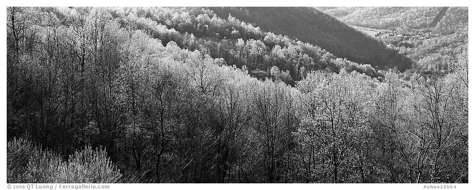 Trees with first spring leaves on hill. Shenandoah National Park (black and white)
