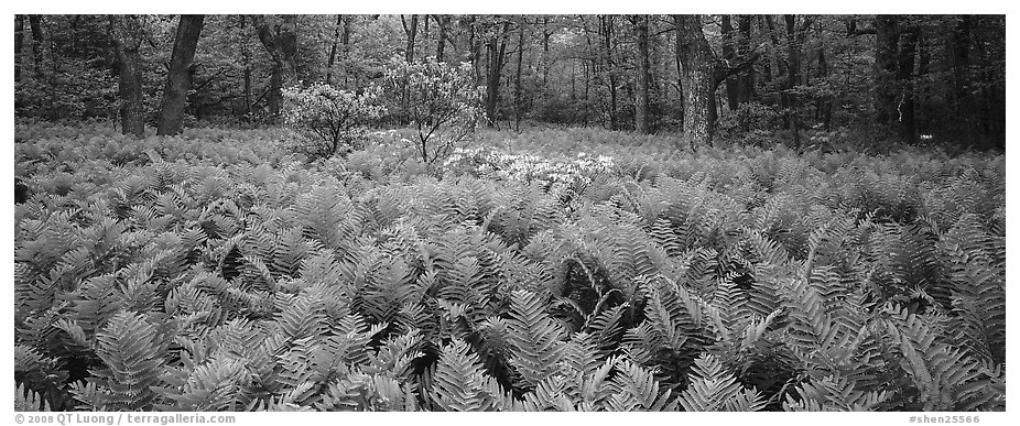 Tender green ferns and pink flowers in spring forest. Shenandoah National Park (black and white)