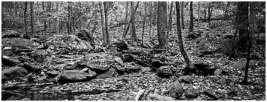 Forest scene with bright autumn leaves on the ground. Shenandoah National Park (Panoramic black and white)