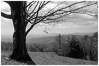 Big tree at Meadow overlook in fall. Shenandoah National Park, Virginia, USA. (black and white)