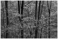 Redbud and Dogwood in bloom near the Northern Entrance, evening. Shenandoah National Park ( black and white)