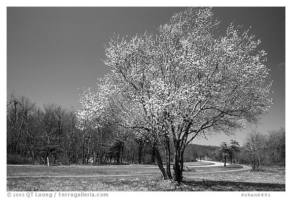 Tree in bloom, Big Meadow, mid-day. Shenandoah National Park (black and white)