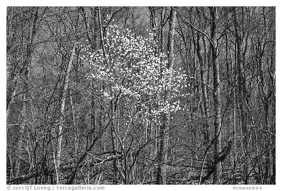 Tree in bloom amidst bare trees near Bear Face trailhead, afternoon. Shenandoah National Park, Virginia, USA.