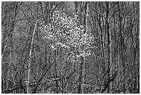 Tree in bloom amidst bare trees near Bear Face trailhead, afternoon. Shenandoah National Park, Virginia, USA. (black and white)