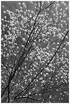 Blossoming tree against blue sky. Shenandoah National Park, Virginia, USA. (black and white)