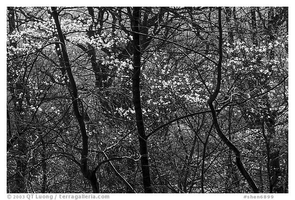 Backlit dogwoods in forest, afternoon. Shenandoah National Park (black and white)