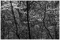 Backlit dogwoods in forest, afternoon. Shenandoah National Park, Virginia, USA. (black and white)