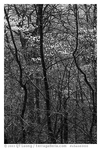 Twisted trunks and dogwood trees in forest. Shenandoah National Park (black and white)
