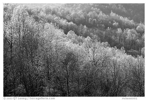 Trees in the spring, late afternoon, Hensley Hollow. Shenandoah National Park (black and white)