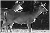 Whitetail Deers, early morning. Shenandoah National Park, Virginia, USA. (black and white)