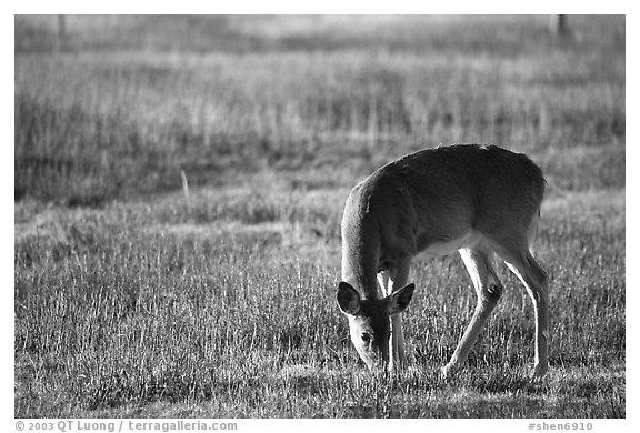 Whitetail Deer grazing in Big Meadows, early morning. Shenandoah National Park (black and white)