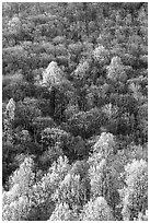 Trees with early foliage amongst bare trees on a hillside, morning. Shenandoah National Park ( black and white)