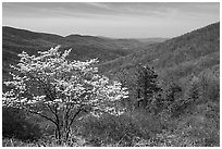 Tree in bloom and hills in early spring. Shenandoah National Park, Virginia, USA. (black and white)