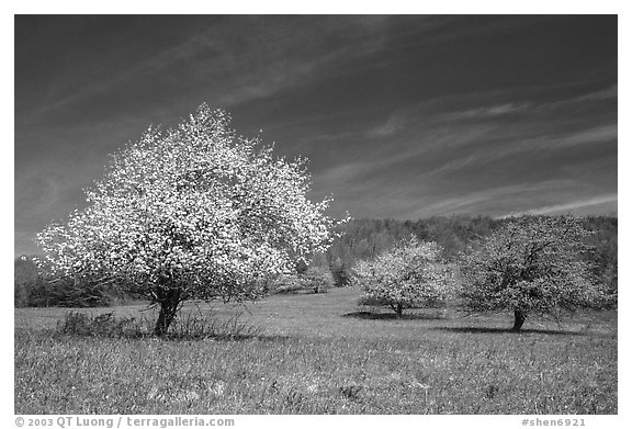 Trees in bloom in grassy meadow. Shenandoah National Park (black and white)