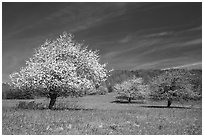 Trees in bloom in grassy meadow. Shenandoah National Park ( black and white)