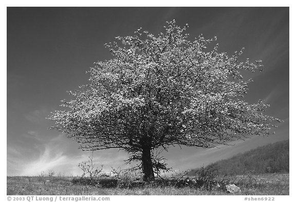 Tree with spring foliage standing against sky. Shenandoah National Park (black and white)