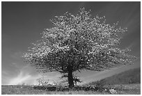 Tree with spring foliage standing against sky. Shenandoah National Park, Virginia, USA. (black and white)