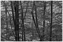 Tree trunks and branches against a backdrop of fall colors. Shenandoah National Park ( black and white)