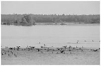 Birds in Black Bay. Voyageurs National Park, Minnesota, USA. (black and white)