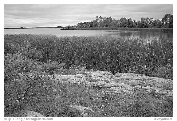 Grasses and red plants at Black Bay narrows on a cloudy day. Voyageurs National Park (black and white)