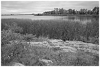 Grasses and red plants at Black Bay narrows on a cloudy day. Voyageurs National Park, Minnesota, USA. (black and white)